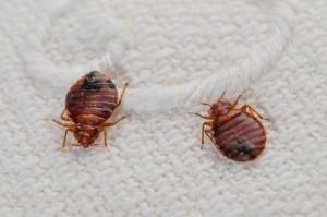 13-11-1-151525bedbug