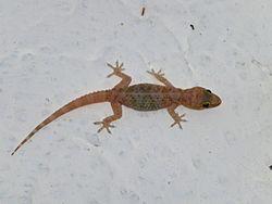 Lizard_1400177_Nevit