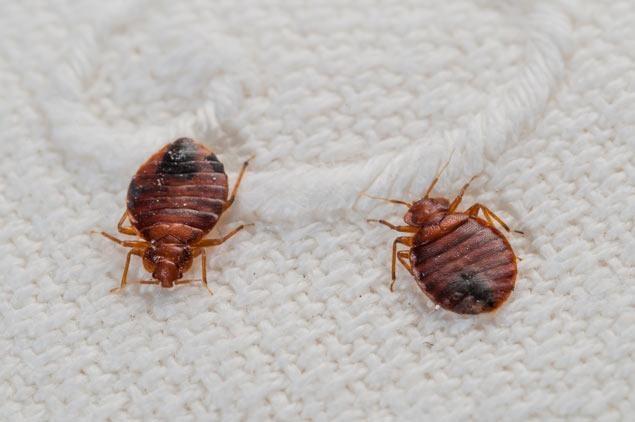 ساس (bedbug)