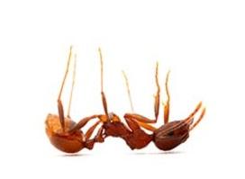 سم مورچه